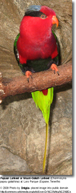 Mount Goliath Lorikeet