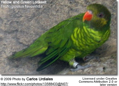 Yellow and Green Lorikeet (Trichoglossus flavoviridis)