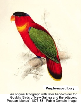 Black-capped Lories