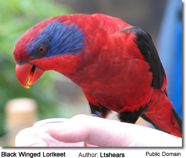 Black-winged Lory