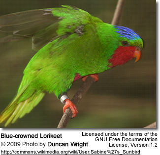 Blue-crowned Lorikeet from the side - Photo by Duncan Wright