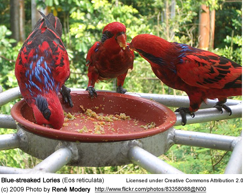 Blue-streaked Lories feeding