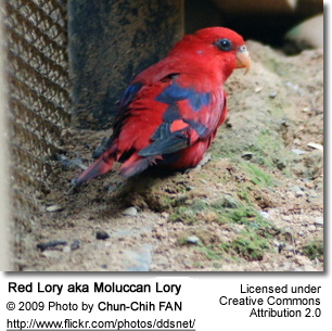 Chattering Lory