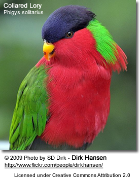 Collared Lory or Solitary Lory