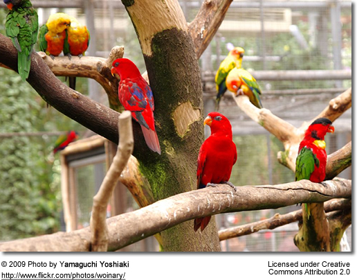 Various lories in an aviary