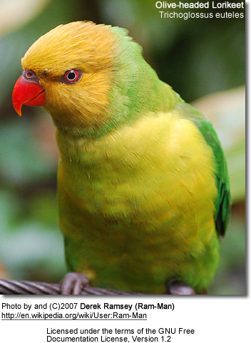 Perfect Lory or Olive-headed Lorikeet