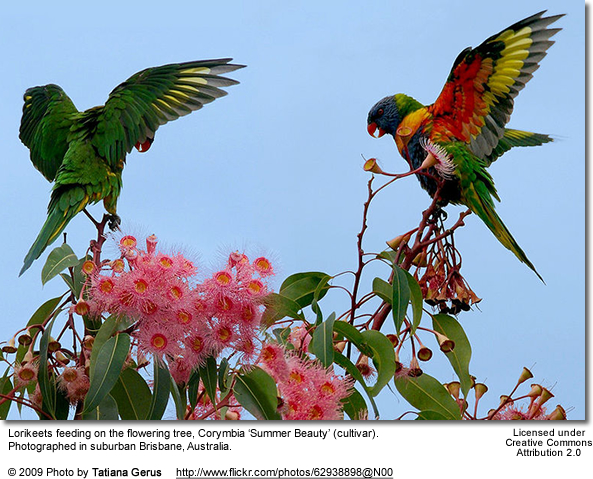 Feeding Rainbow Lories