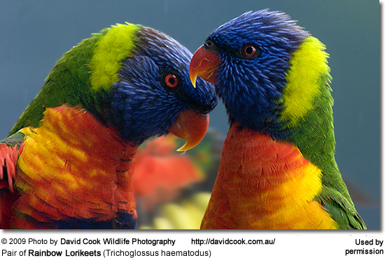 A bonded pair of Rainbow Lorikeets