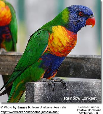 Perching Rainbow Lory
