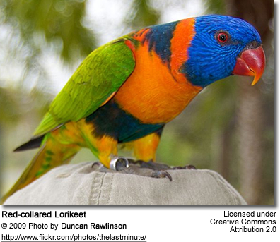 Red-collared Lorikeet perched on head