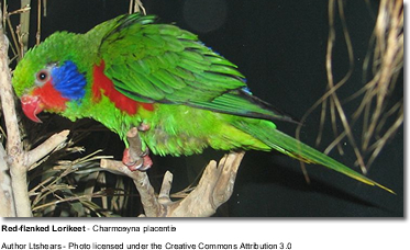 Pleasing / Red-flanked Lorikeet