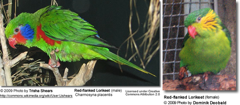 Male and Female Red-flanked Lorikeet