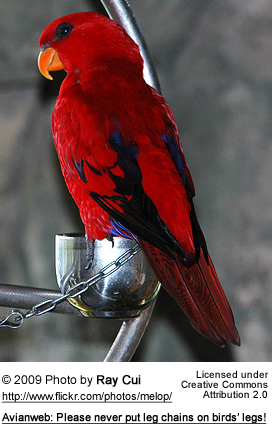 Captive Red Lory