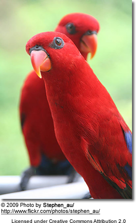 Pair of Red Lories