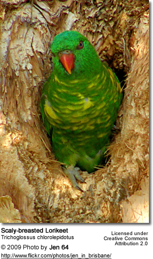 Scaly-breasted Lorikeet in its natural tree cavity nest