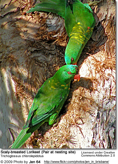 Nesting Scaly-breasted Lorikeet Pair at Nest Site