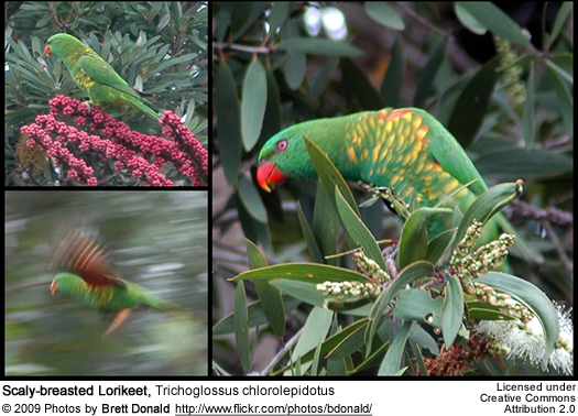 Scaly-breasted Lorikeets