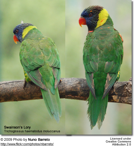 Swainson's Lory