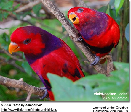 Violet-necked Lories