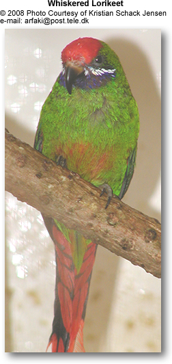 Whiskered Lorikeets aka Arfak Alpine Lorikeets