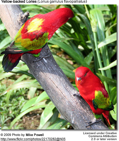 Yellow-backed Lories