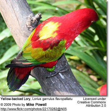 Yellow-backed Lory
