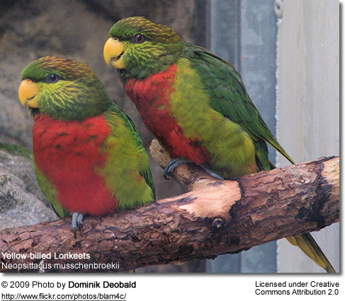 A pair of Yellow-billed Lorikeets