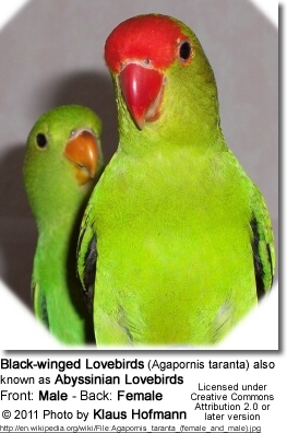 Lovebirds: Detailed Information & Photos | Beauty of Birds