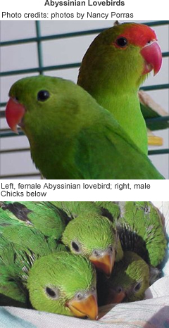Abyssinian Lovebirds