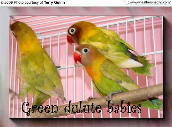 Green Dilute Black-masked Lovebirds