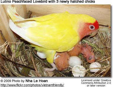Lutino Lovebird with chicks