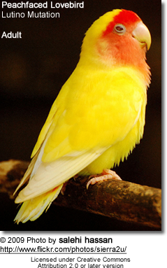 Peachfaced Lovebird - Lutino Mutation