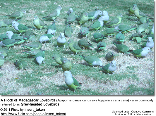 A Flock of Madagascar Lovebirds