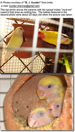 Lovebirds with their mud pot