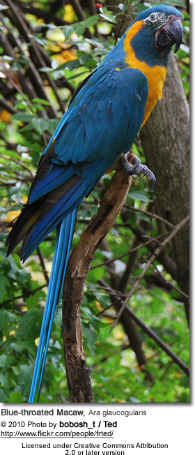 Blue-throated Macaw, Ara glaucogularis