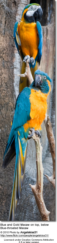 Blue and Gold Macaw and Blue-throated Macaw