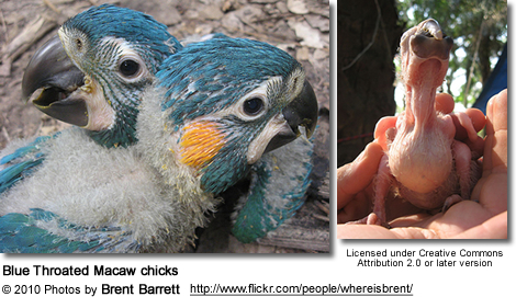 Blue-throated Macaw chicks