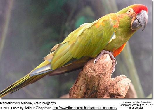 Red-fronted Macaw, Ara rubrogenys