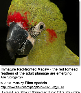 Immature Red-fronted Macaw - the red forhead feathers of the adult plumage are emerging