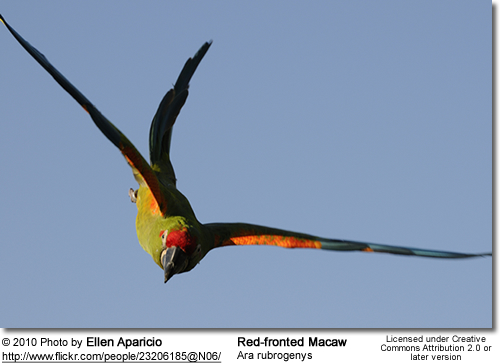 Red-fronted Macaw, Ara rubrogeny in flight