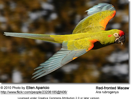 Red-fronted Macaw in flight