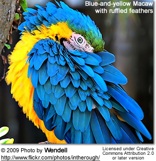 Blue and Yellow Macaw with ruffled feathers
