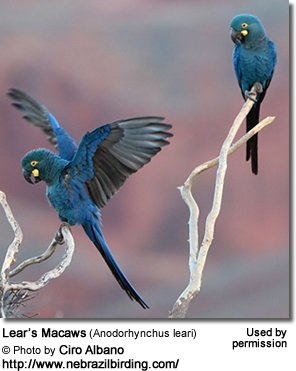 Lear's Macaw by Robin Chen