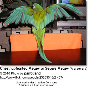 Chestnut-fronted Macaw or Severe Macaw (Ara severa)