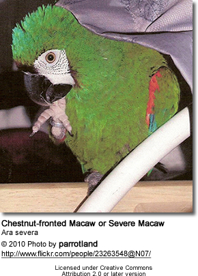 Chestnut-fronted Macaw or Severe Macaw