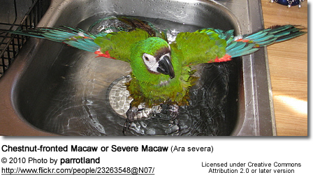 Chestnut-fronted Macaw or Severe Macaw (Ara severa) - bathing