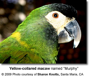 Yellow-collared Macaw