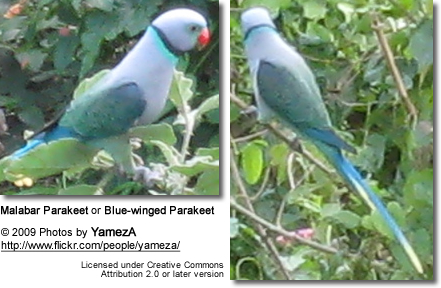 Malabar Parakeet or Blue-winged Parakeet