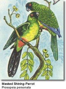 Masked Shining Parrot
