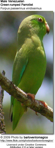 Male Green-rumped Parrotlet